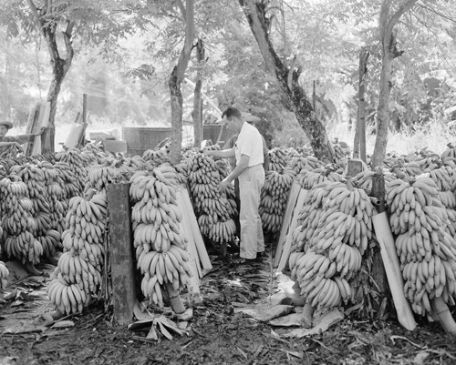 A United Fruit Company official looks over some of the fruit bunches of bananas harvested since the strike to determine which are fit for market in Honduras on Sept. 3, 1954. Because of the strike, the trees have not been sprayed for over two months, and there are many bunches that are spotted with sigatoka (red rust) that discolors the skin but does not affect the fruit. Bunches showing evidence of having sigatoka are not shipped out because they do not look good when put on the market. (AP Photo)